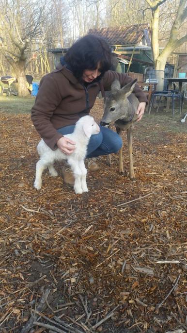 Neugeborenes Lamm von Krähen attackiert